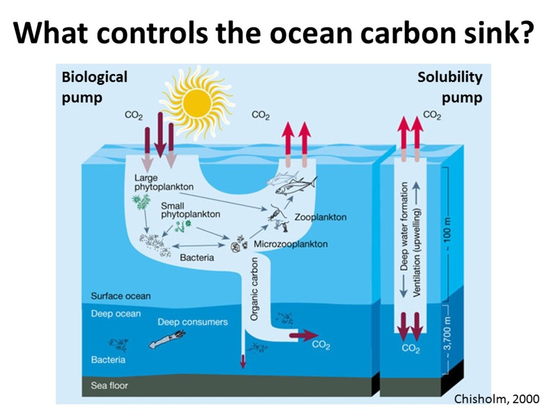 carbon sinks in the oceans analysis However, because the global carbon cycle is intimately embedded in the physical climate system there exist several feedback loops between the two systems for example, increasing co2 modifies the climate which in turn impacts ocean circulation and therefore ocean co2 uptake changes in marine ecosystems resulting.
